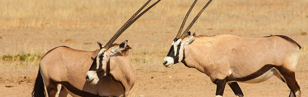 Welcome to The Gemsbok