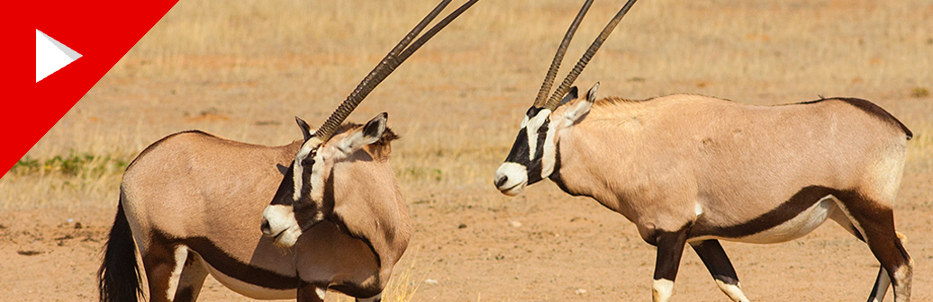 The Gemsbok on YouTube